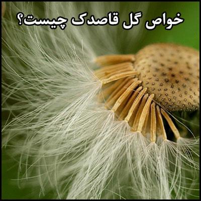 خواص گل قاصدک چیست؟