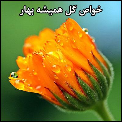 خواص بی نظیر گل همیشه بهار