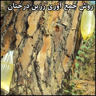 روش جمع آوری رزین درختان