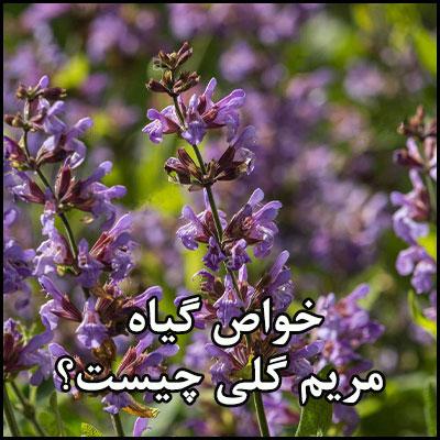خواص گیاه مریم گلی چیست؟