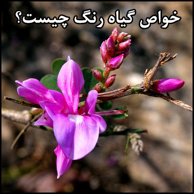 خواص گیاه رنگ چیست؟