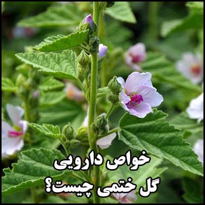 خواص دارویی گل ختمی چیست؟