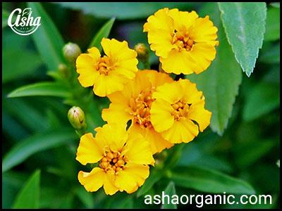تصویر گل گیاه ترخون