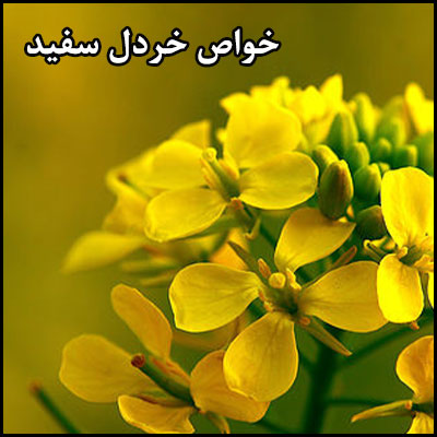 خواص مفید گیاه خردل سفید