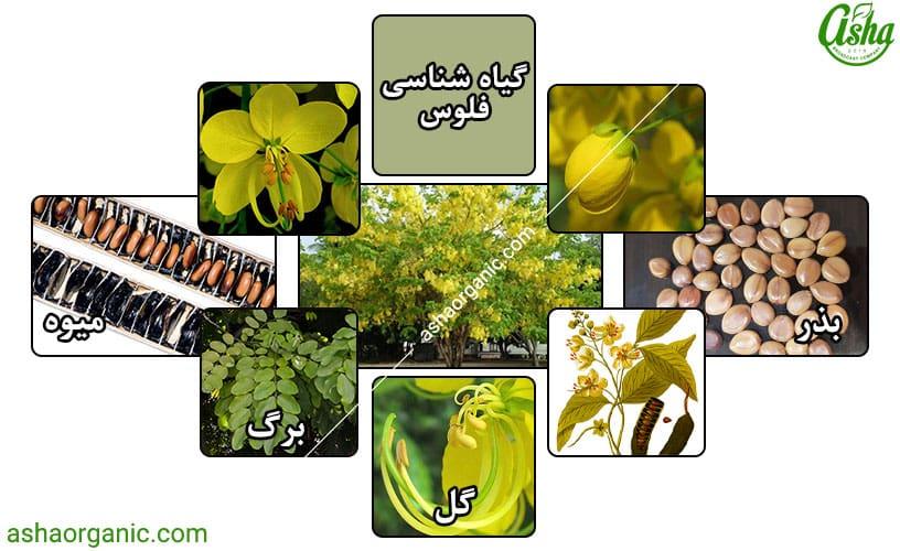 خواص گیاه فلوس چیست؟